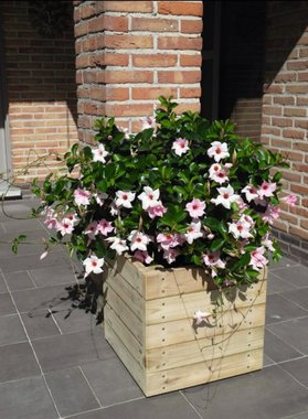 Aster bloembak